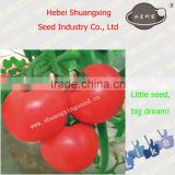 New bred high-end pink hybrid tomato seeds