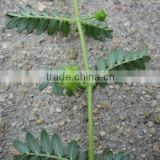 Favorites Compare Best Selling Chinese Herb Medicine tribulus terrestris extract total saponins