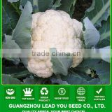 JCF12 Lixue pure white heat resistant hybrid caulilfower seed f1, early type cauliflower seeds