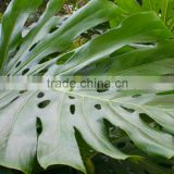 wholesale the top quality fresh cut Monstera Leaves and other foliage fillers with low price