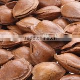 chinese sweet apricot kernel in shell