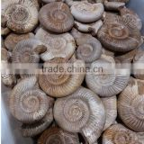 wholesale top quality natural snail fossils ammonite fossils for sale
