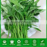 JWS03 Gengmei good quality water spinach seeds for sales