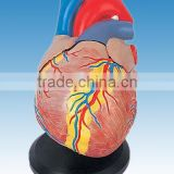 Life-size plastic Human Heart Model for sale anatomy model