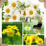 chrysanthemums extract powder/chrysanthemum flower extract powder/chrysanthemum parthenium extract