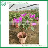 Bougainvillea Bonsai Living Plants