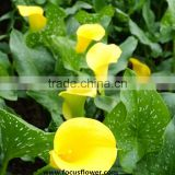 Artificial flower calla lily anthurium price jasmin flower garland calla lily bulbs in good quality