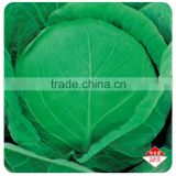 Japanese vegetable seeds hybrid cabbage Seeds Kale Seed for planting-Iron Ball 65
