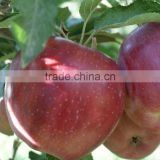 Red Chief Apple Fruit Tree