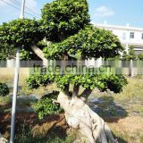 decorative big banyan tree bonsai temperate plants