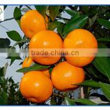 Nanfeng Honey Baby Orange