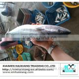 Whole round frozen bonito fish for sale