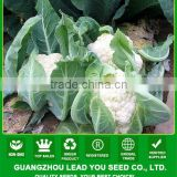 CF13 XJ no.3 70 days f1 hybrid white cauliflower seeds, different types of cauliflower seeds for sowing