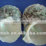 natural raw moonlight shell turbo conch/cowrie