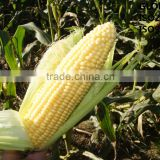 Fresh Yellow/White Sweet Corn Cob Non-GMO No Fat Vacuum Packed GAP Certified