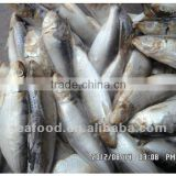 Whole round Sardine,New Arrivals