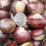 China hot sale new crop Fresh chestnut in mesh bag package