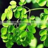 Moringa Leaves Powder moringa leaf powder/moringa powder dried green moringa leaf powder Bulk Moringa Leaf Powder