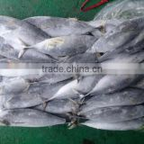 The ship frozen bonito fish(skipjack tuna)