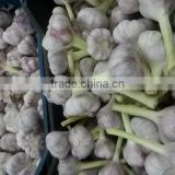 wholesale garlic 2017Hot sale Egyptian fresh garlic (Red, White) for export