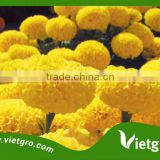 High Yield F1 Hybrid Marigold Seeds VGMG 300.03