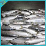 Fresh frozen sardines fish for bait on sale