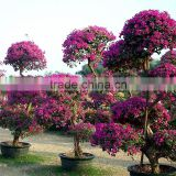 Flowering bougainvillea bonsai