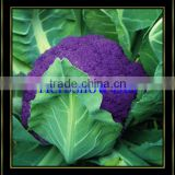 2016 F1 Hybrid Cauliflower seeds/broccoli seeds