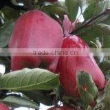 Fresh Huaniu Apple from China