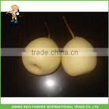 Chinese fruit new crop fresh Ya Pear for export