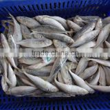 Frozen Horse Mackerel /Pacific/Indian/Atlantic Mackerel fish for sale