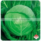 Chinese vegetable hybrid cabbage Seeds Kale Seed for planting-Full Moon 56