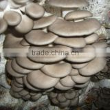 high yield grey color oyster mushroom spawn