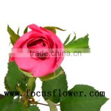 Natural fresh cut red rose high quality fresh cut flower big pink with 0.8_1.2kg/bundle from kunming for fresh cut flowers