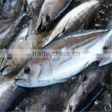 seafrozen skipjack tuna whole round for can factory