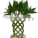 Braided lucky bamboo, dracaena sanderiana, indoor plants, live plants, ornamental plants, chinese fengshui plants, bamboo plants