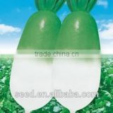 SX No.1 Chinese green head Radish Seeds