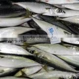 Good Quality Frozen Pacific Mackerel Fish for sale