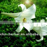 Top quality Lily Bulb Extract/lily bulb extract powder/dried lily bulb