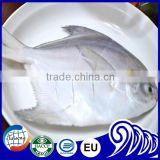 Fresh Frozen White Silver Pomfret Fish