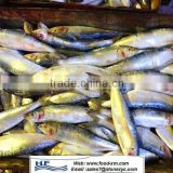 frozen sardine fish for canning