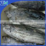 sea frozen skipjack tuna and yellowfin tuna