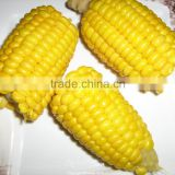 Chinese IQF Frozen Sweet Corn for sale
