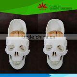Direct factory supplied school use human skull model for medical education