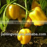 New Color Round Sweet Pepper Exporter from China