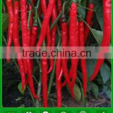 P04 no.301 high quality hybrid chilli seeds, vegetable seeds