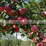 China good quality fresh apple (gala)