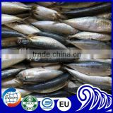 Long Bodied Round Scad Decapterus Lajang For Tuna Bait