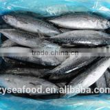2017 new arrived land frozen fish bonito tuna for sale