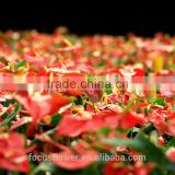 Fresh Cut Flowers Processing Type anthurium plants for sale to the beloved